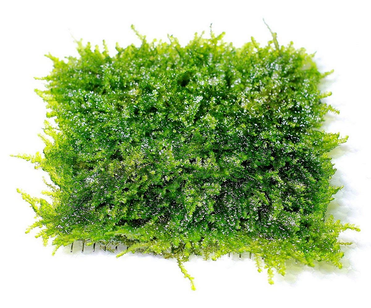 SoShrimp Mini Christmas Moss Mesh Pad - Vesicularia sp. Live Aquarium Plant by SoShrimp