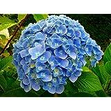 "'Nikko Blue' Hydrangea macrophylla - Bigleaf - A Top Seller - 4"" Pot"