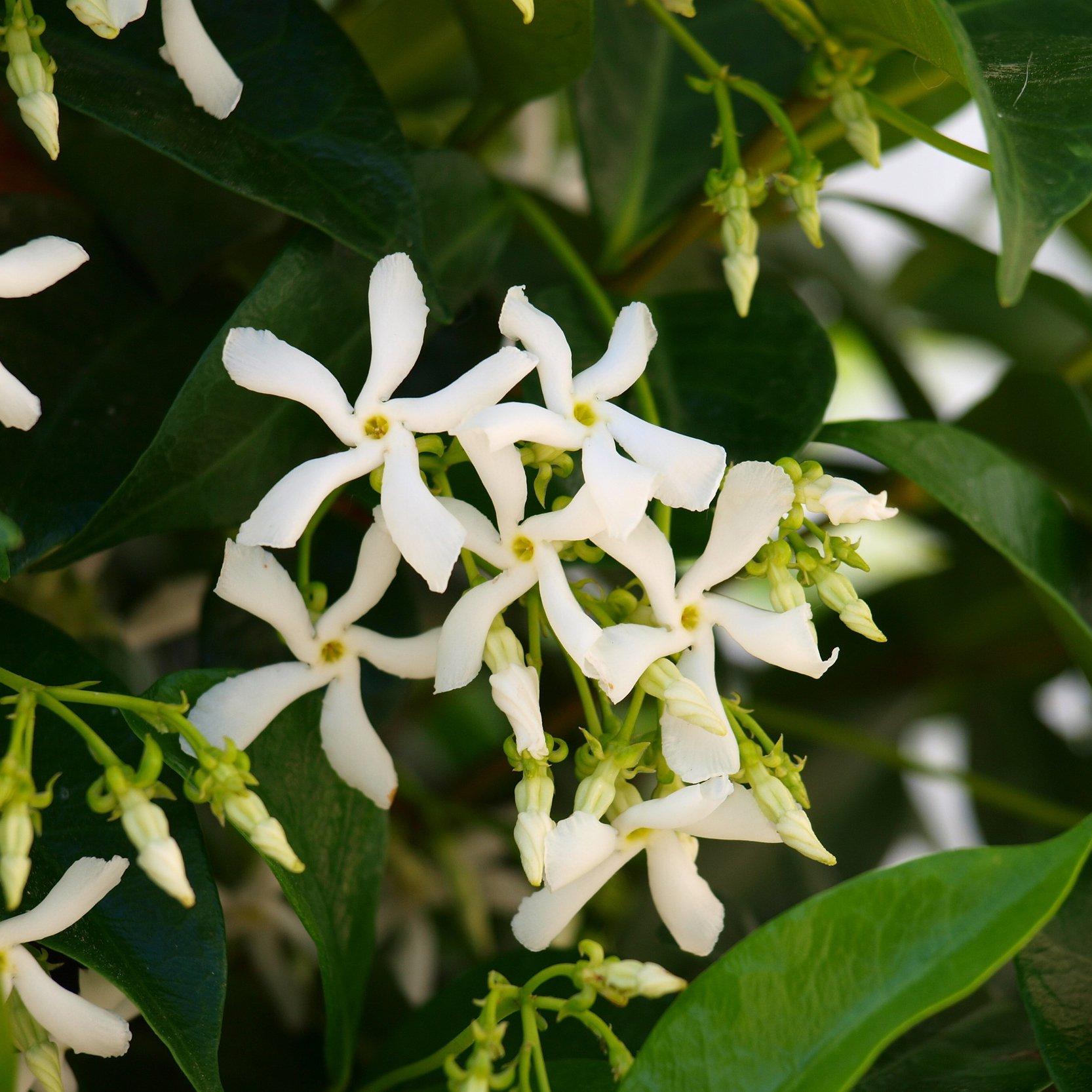 Trachelospermum Jasminoides Evergreen Star Jasmine Climbing Plant 1