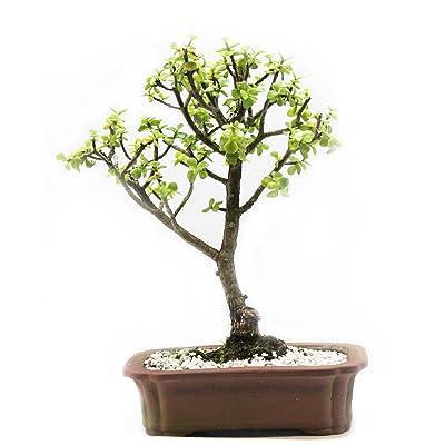 Indoorbonsaiandexotics Baby Jade Bonsai Indoor Tree in 6 Inch Pot: Garden & Outdoor