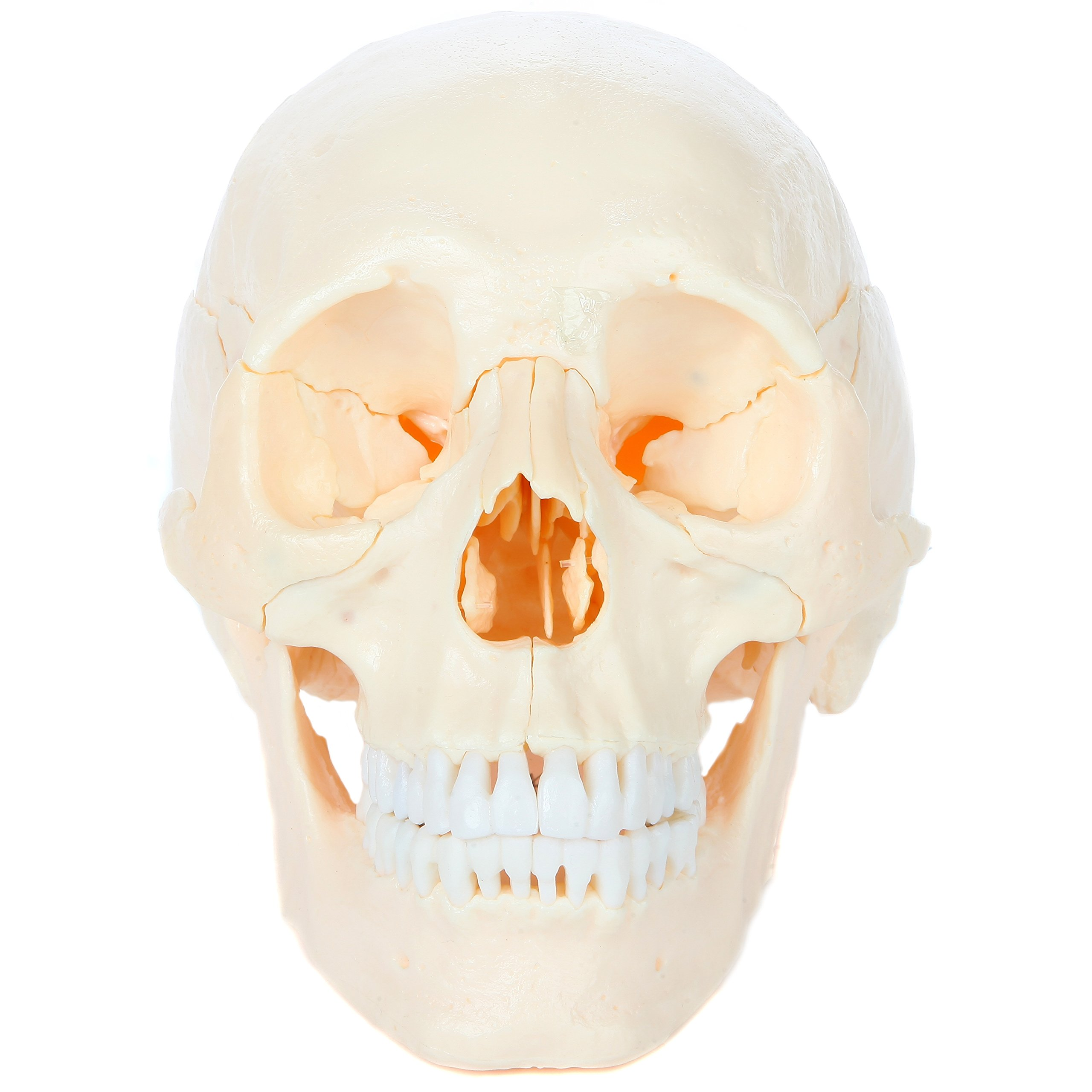 Axis Scientific 22-Part Human Skull Model   Molded from a Real Human Skull this Life Size Plastic Skull Disassembles into 22 Bones   Includes Detailed Product Manual   3 Year Warranty