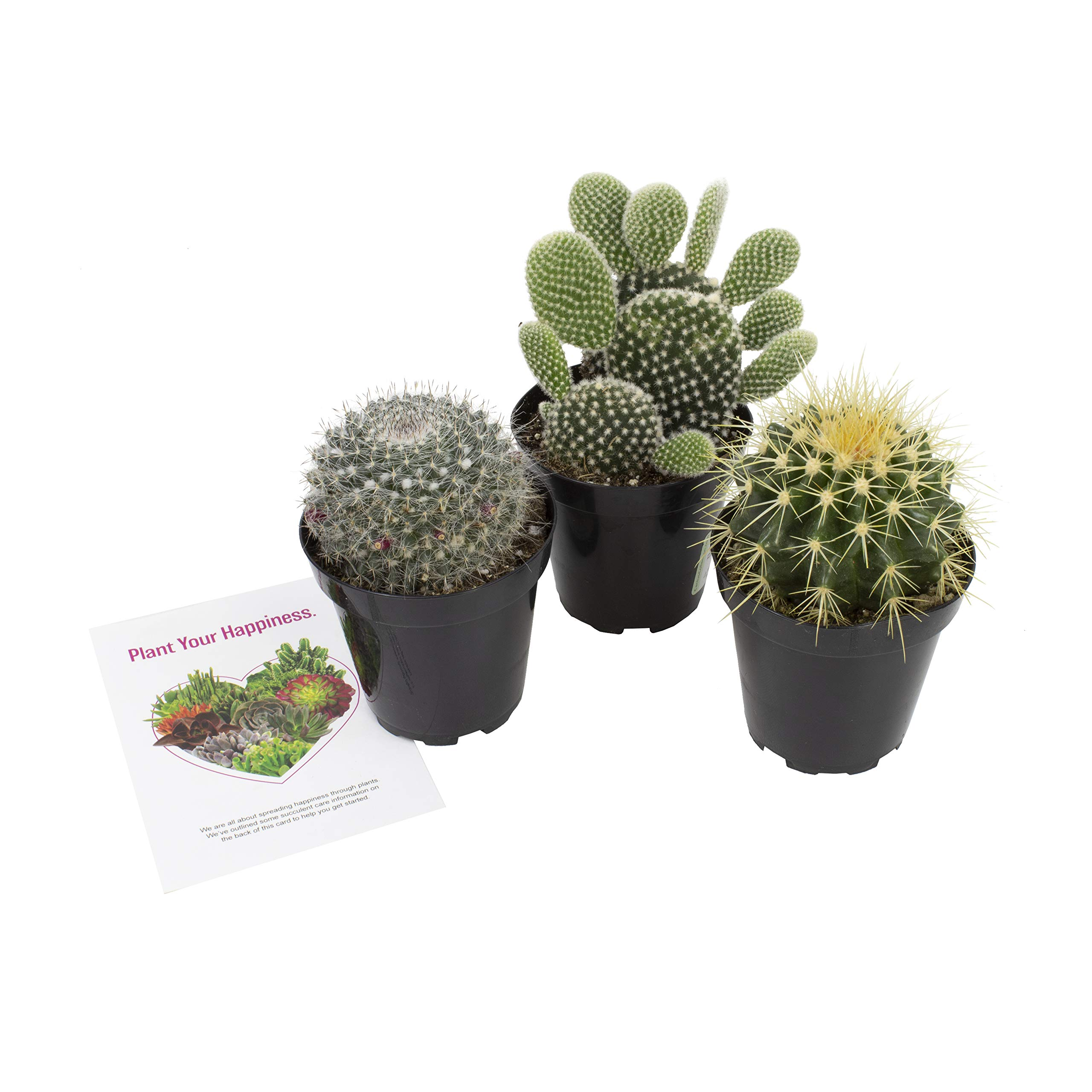 Altman Plants Assorted Live Cactus Collection large for planters or gifts, 3.5'', 3 Pack by Altman Plants (Image #2)