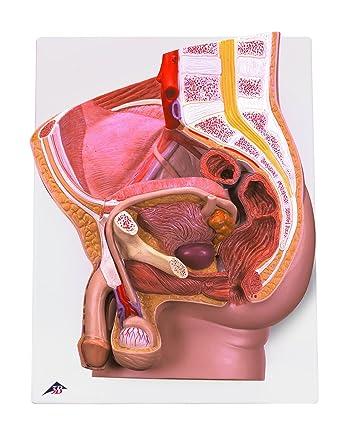 3B Scientific H11 Modelo de anatomía humana Pelvis Masculina, 2 ...