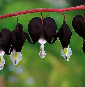 20 Pcs Black Bleeding Heart Seeds Dicentra Spectabilis Shade Flower Garden Spring Flowering
