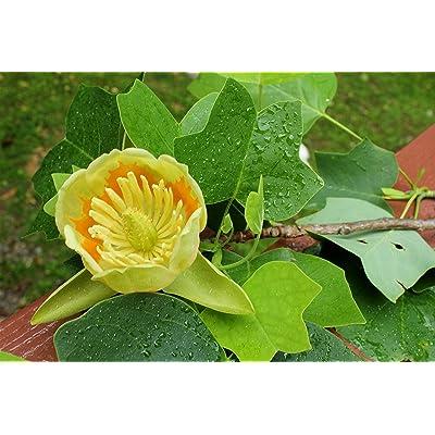 1 Live Plant 3-4 ft Tulip Poplar Tree Outdoor Gardening tksery : Garden & Outdoor