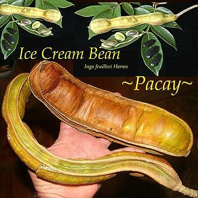 ~PACAY~ Inga Feuillei ICE Cream Bean Tropical Fruit Tree Live sml potd Plant : Garden & Outdoor