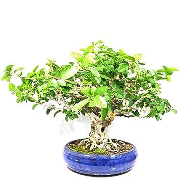 Premna mycrophylla, Bonsaï d\'intérieur, 32 ans, hauteur 36 cm ...