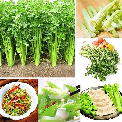 Celery Seeds for Yard Gardening Plant, 100Pcs Celery Seeds Apium Graveolens Eatable Garden Balcony Growing Vegetable - Celery Seeds by Mosichi : Garden & Outdoor