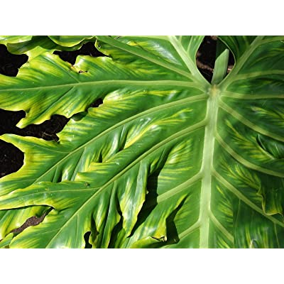 New Lacy TREE PHILODENDRON Split Leaf Cut-leaf Selloum House Plant Flower 15+ Seeds : Garden & Outdoor
