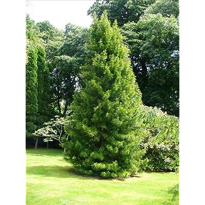 Japanese Umbrella Pine, Sciadopitys Verticillata, Tree Seeds(4 Seeds) : Garden & Outdoor