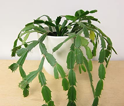 christmas cactus cutting thanksgiving crab holiday schlumbergera truncata plant - Christmas Catus