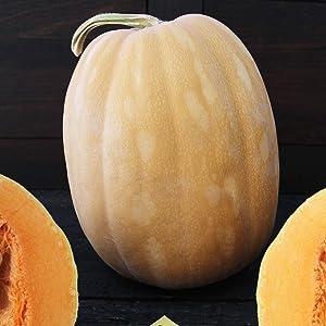 Dickinson Pumpkin Seeds - 4 g ~20 Seeds - Heirloom, Open Pollinated, Non-GMO, Farm & Vegetable Gardening Seeds