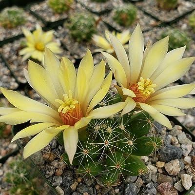 Mammillaria sphaerica Cactus Cacti Succulent Real Live Plant : Garden & Outdoor