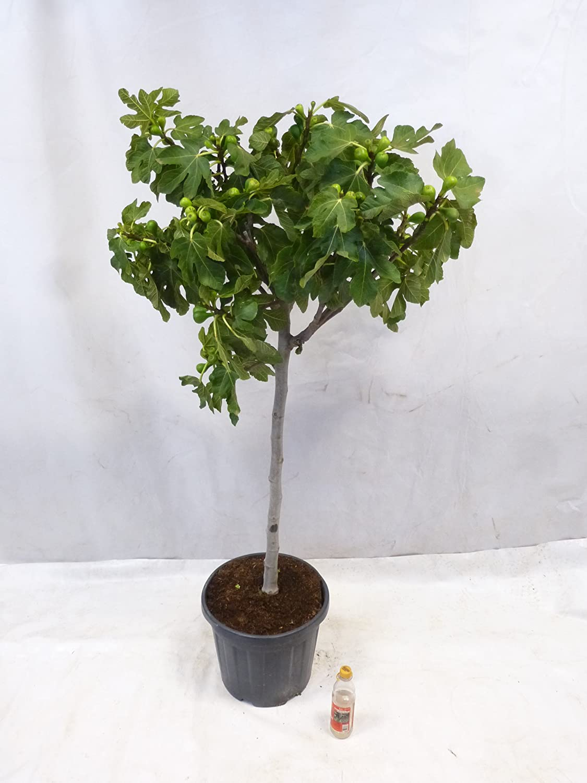 - Ficus carica 180//200 cm Palmenlager Stammumfang 12//15 cm Echter Feigenbaum viele Fr/üchte