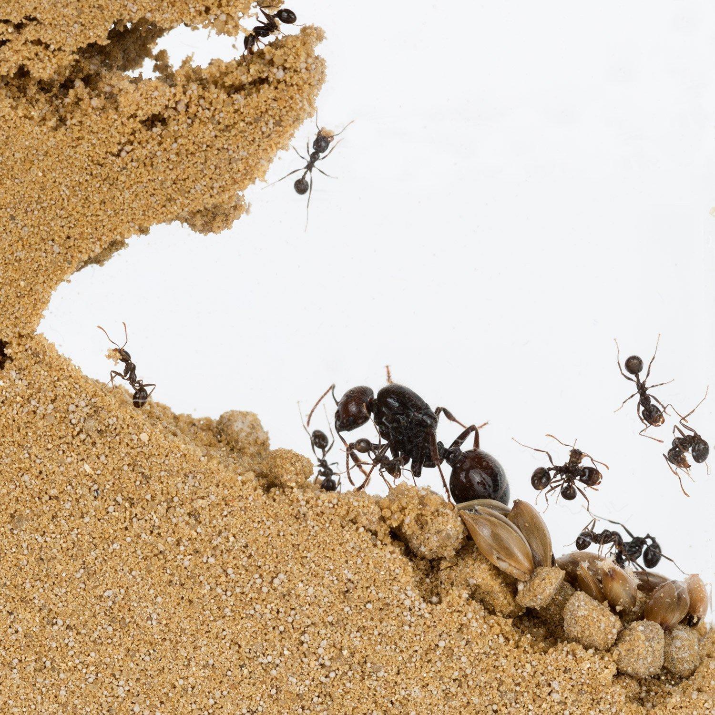 Hormiguero de ARENA con Hormigas GRATIS (AntHouse.es): Amazon.es: Juguetes y juegos