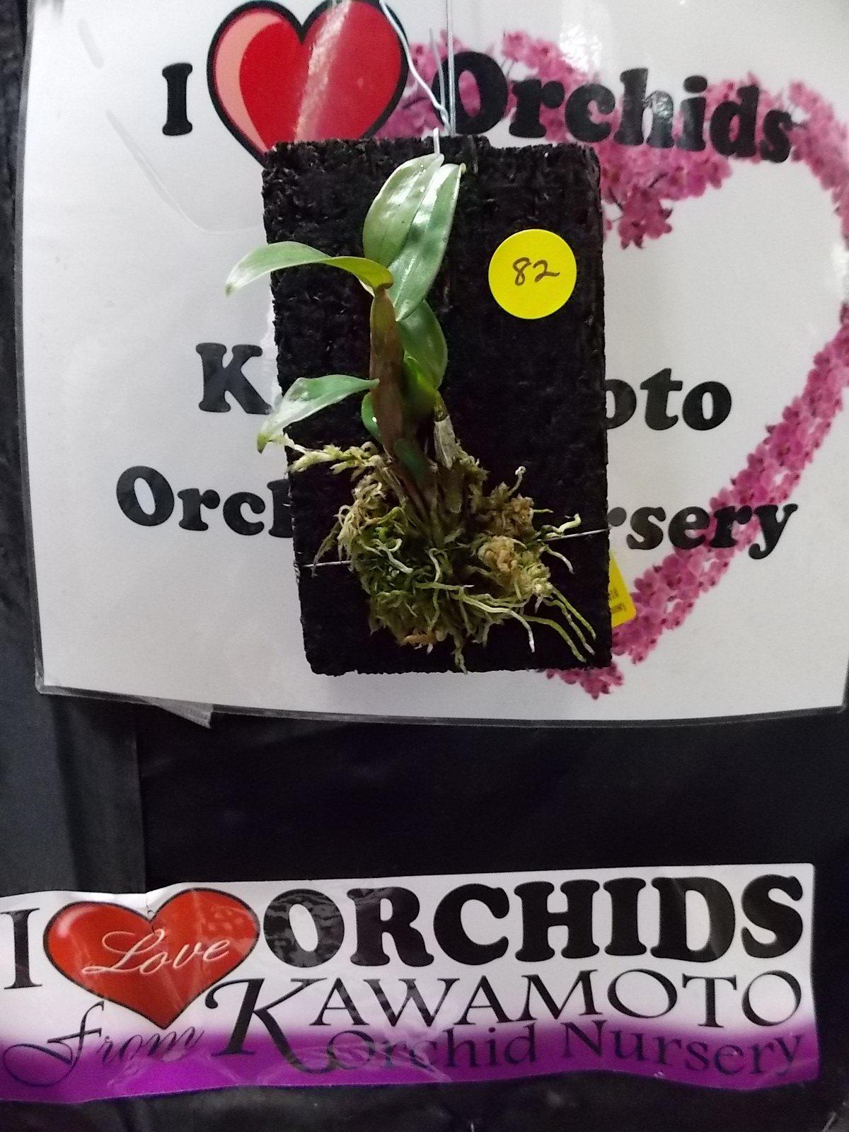 Dendrobium cumulatum New Offering! Unique Species! Collectors! Superb Orchid Plant