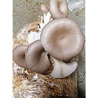 Kit de culture pleurote grise 5kg, sac de culture de champignons