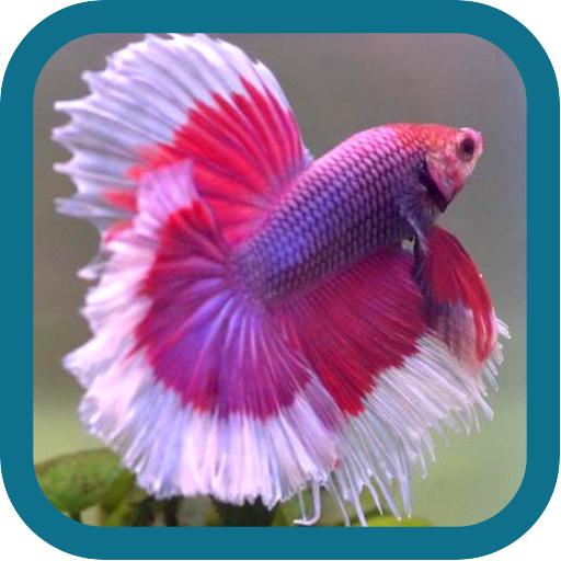 betta-fish-beauty