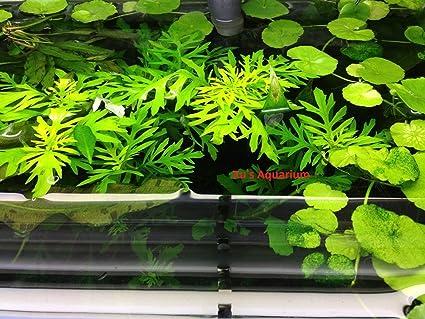 3 Water Wisteria (Hygrophila Difformis), Live Aquarium/Aquatic/Stem Plant By