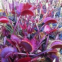 """CIOLER Seed House - 50 pcs semilla Dionaea muscipula venus""""atrapamoscas"""" (Planta Carnívora) Semillas plantas carnívoras"""