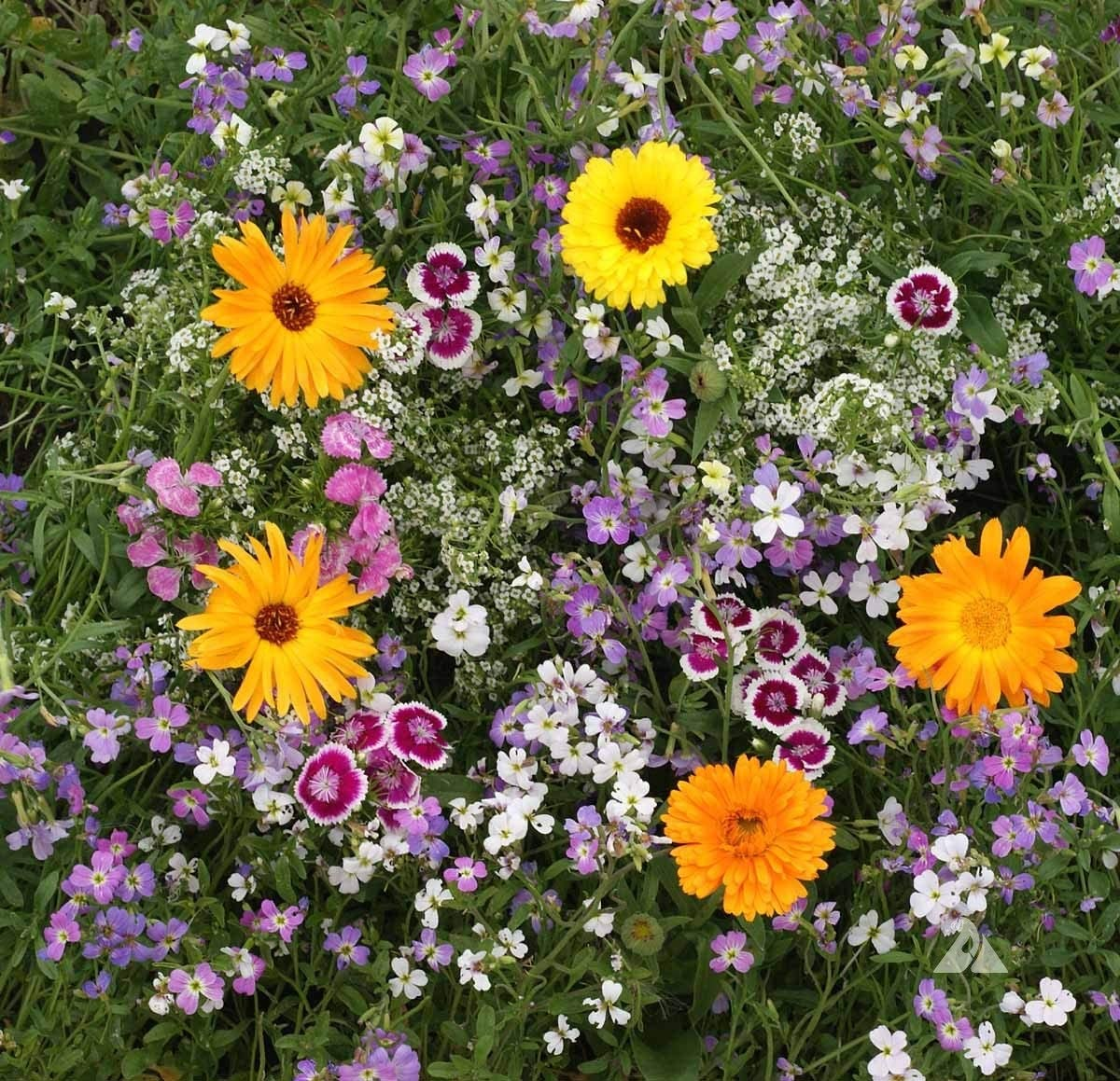 David's Garden Seeds Wildflower Fragrant Mixture SL8399 (Multi) About 500 Non-GMO, Open Pollinated Seeds