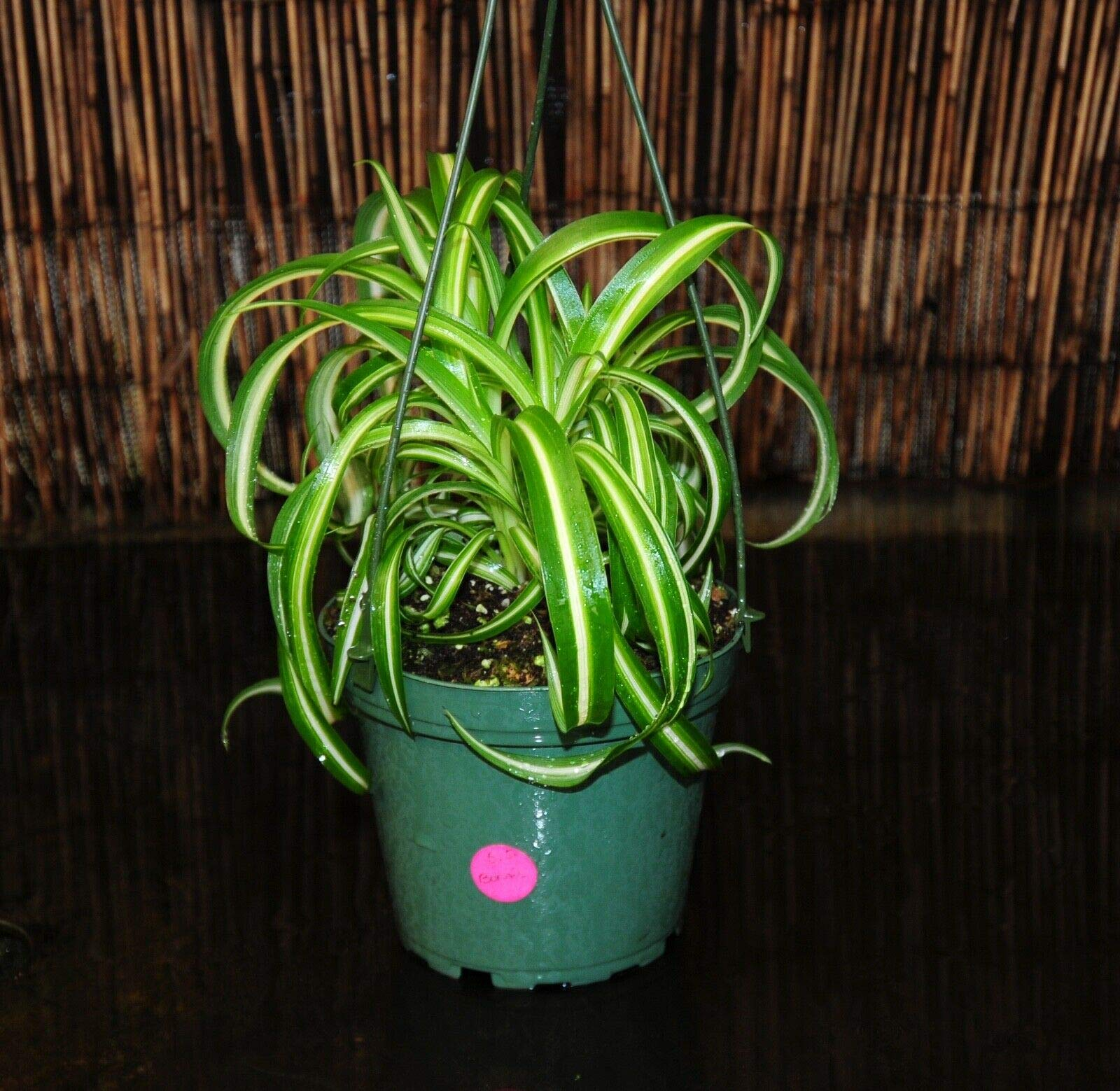 Sale~'Bonnie' Beautiful Variegated Curly Spider Plants Full 5'' Hanging Baskets (Premium Quality) by AY-Premium