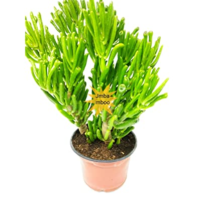 "'Hobbit' Jade Plant - Crassula ovuta - Easy to Grow - 6"" Pot : Garden & Outdoor"