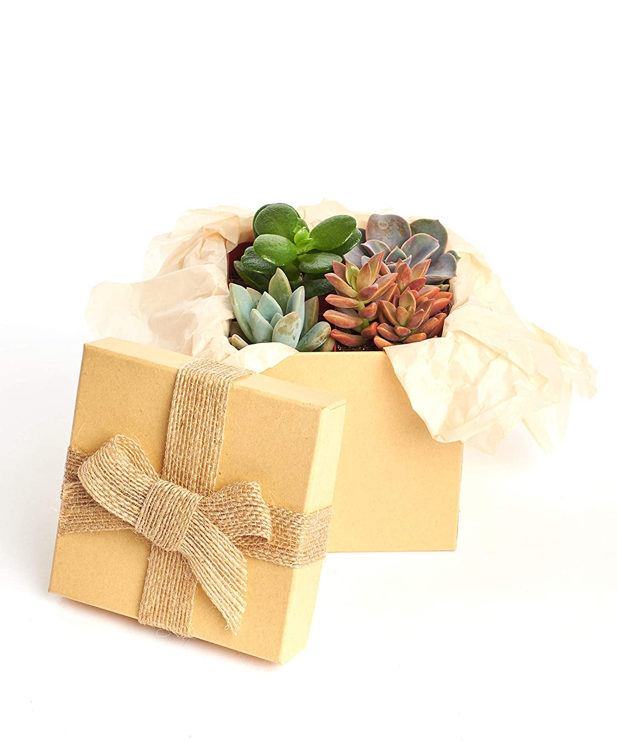 Hand Selected Variety Pack of Mini Succulents Collection of 12 in 2 pots Premium Pastel Collection of LiveSucculent Plants in Gift Box Shop Succulents