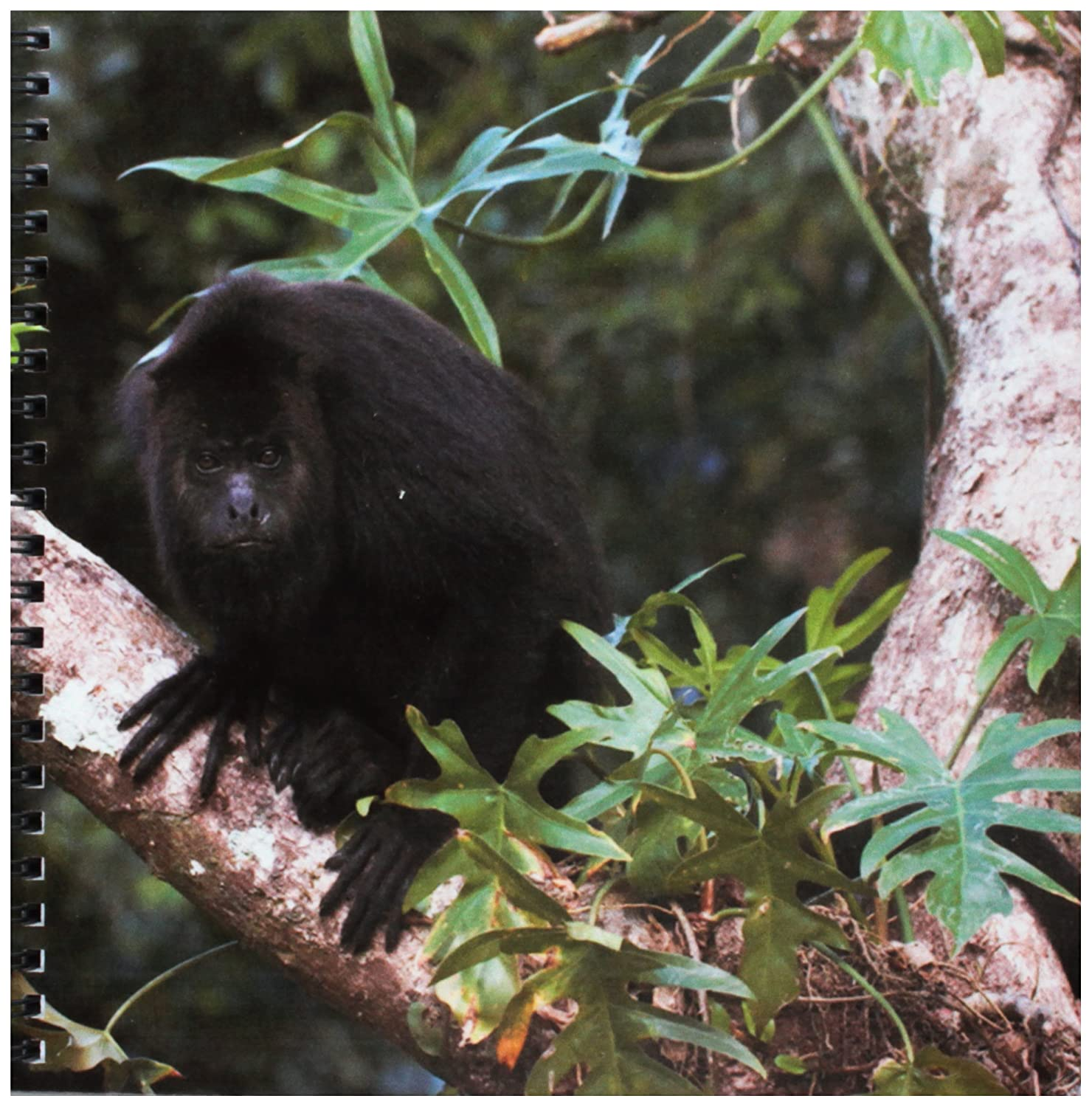 3dRose db/_85591/_1 Black Howler Monkey Belize Sa02 Pox0024 Pete Oxford Drawing Book Community Baboon Center 8 by 8-Inch 3D Rose