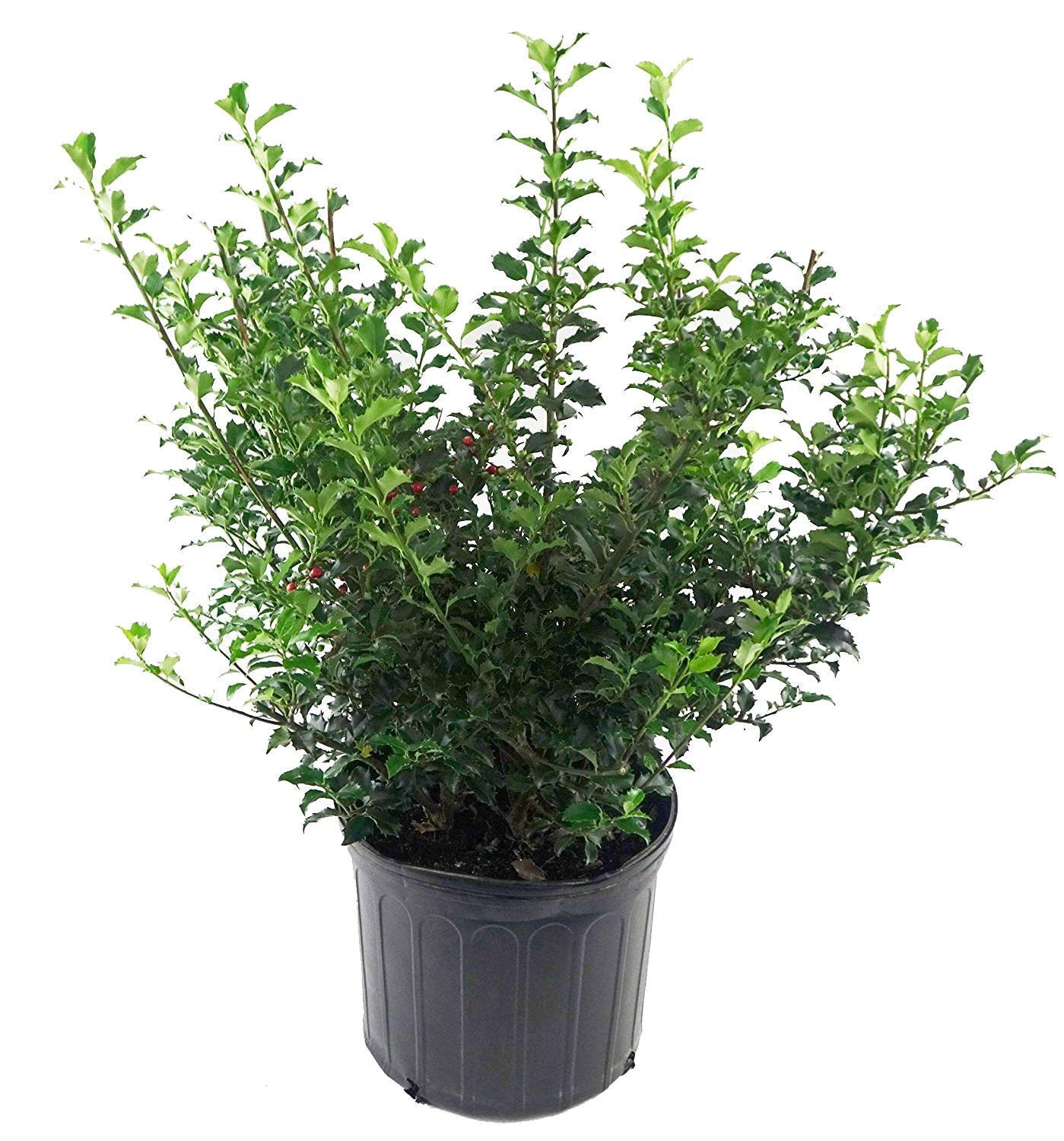 Ilex X meserveae 'Blue Princess' (Blue Holly) Evergreen, #3 - Size Container by Green Promise Farms (Image #2)