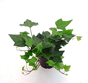 Lieblings Efeu, Hedera helix Montgomery, Zimmerpflanze in Hydrokultur, 13 #VY_73