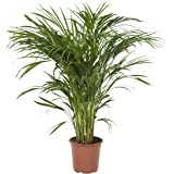 BOTANICLY | Plantas naturales | Areca | 100 cm