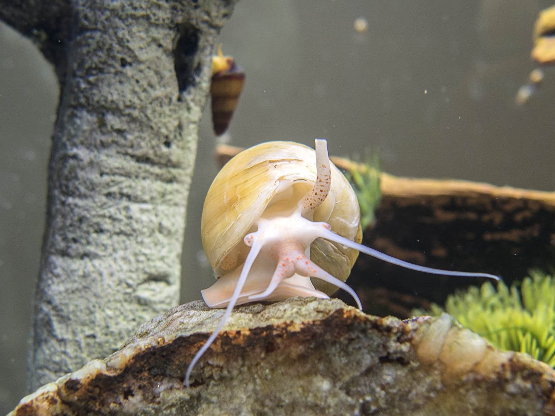Aquarium snail ampulyaria: content and reproduction 88