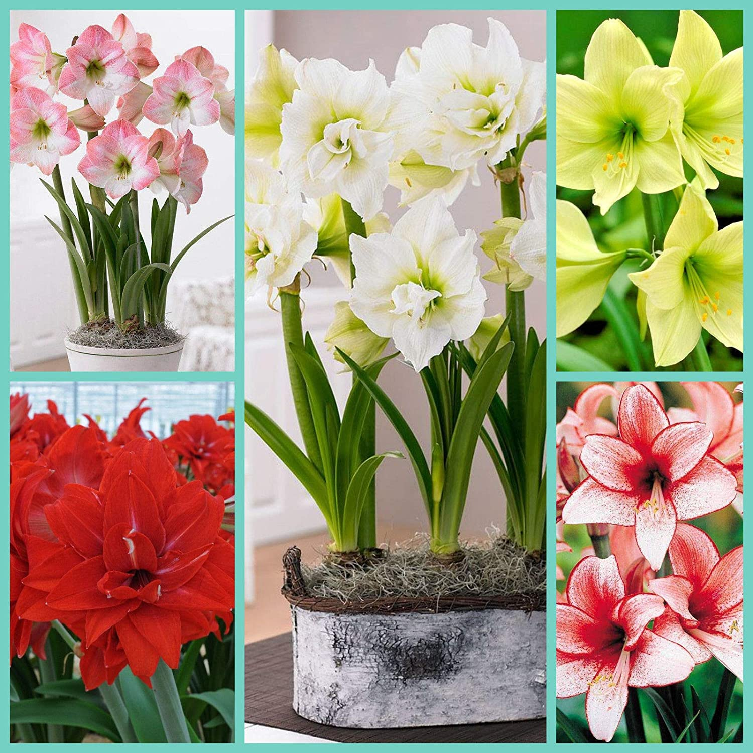 Amaryllis Mixed Colours x 3 Bulbs Size 24//26 by Growtanical /®
