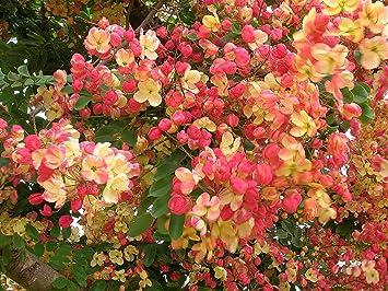 ROSE CASSIA SEEDS CASSIA MARGINATA SEED FLOWERING TREE 20 SEED PACK