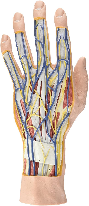 3B Scientific Menschliche Anatomie - Hand-Struktur-Modell, 3-teilig ...
