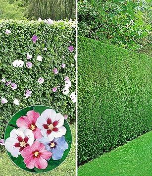 Beliebt BALDUR-Garten Gemischte Hecken-Kollektion, 10 Pflanzen 5 Pflanzen JB96