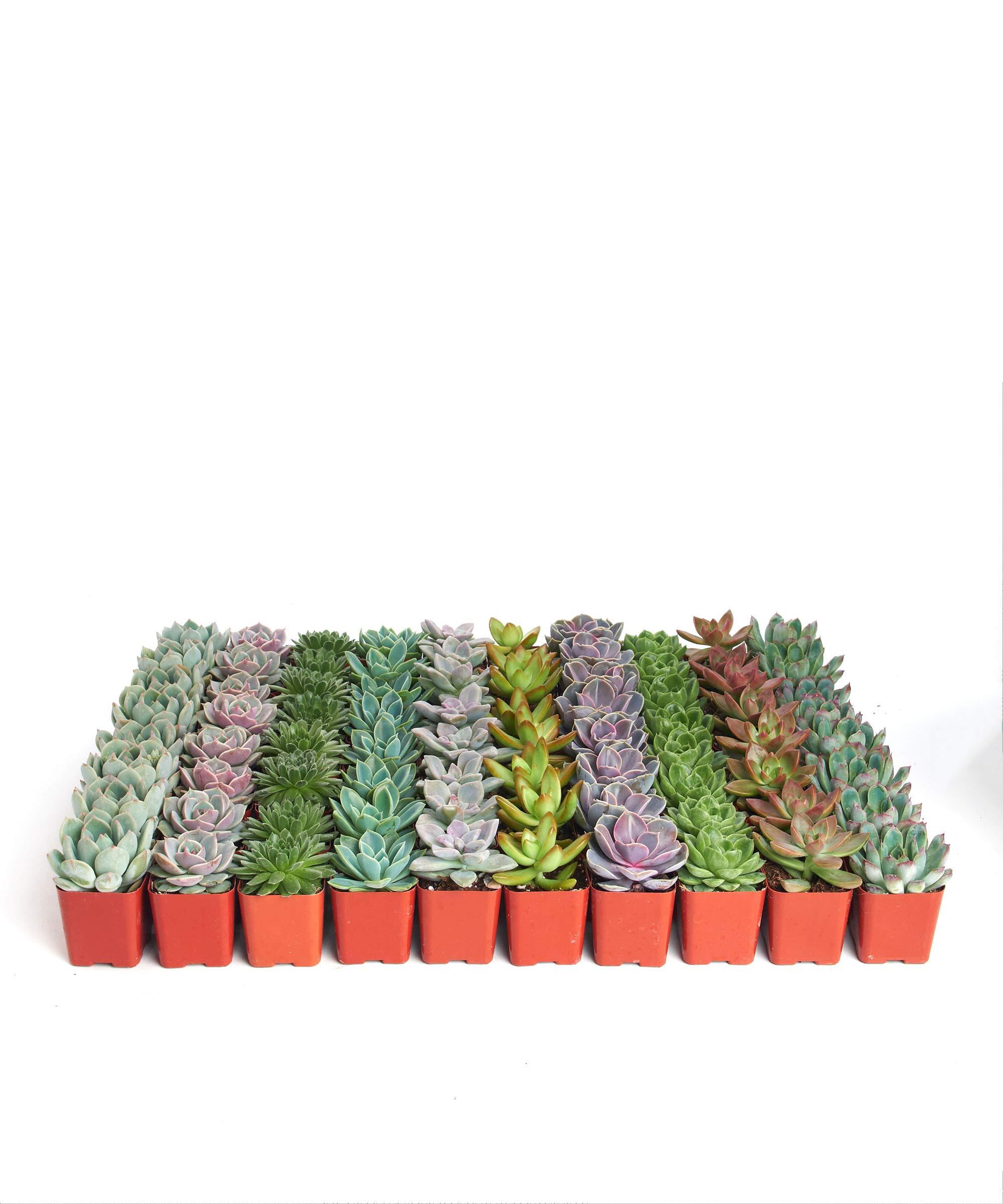 Shop Succulents Rosette Succulent (Collection of 40) by Shop Succulents (Image #2)