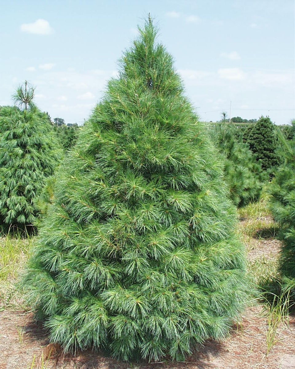 Grand Fir Christmas Tree - 25 Scotch pine Tree Seeds (Pinus sylvestris) makes an excellent Christmas tree
