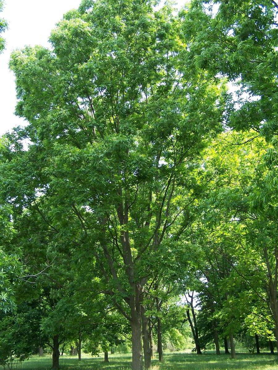 Pekannussbaum (Carya illinoinensis) 3 Groß e Samen Samenchilishop