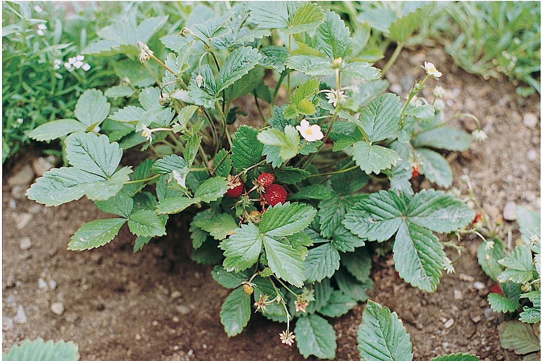 David's Garden Seeds Fruit Strawberry Alexandria 6977 (Red) 200 Non-GMO, Heirloom Seeds