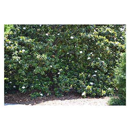 Amazoncom Established Southern Magnolia Tree 1 Plant In 1 Gallon