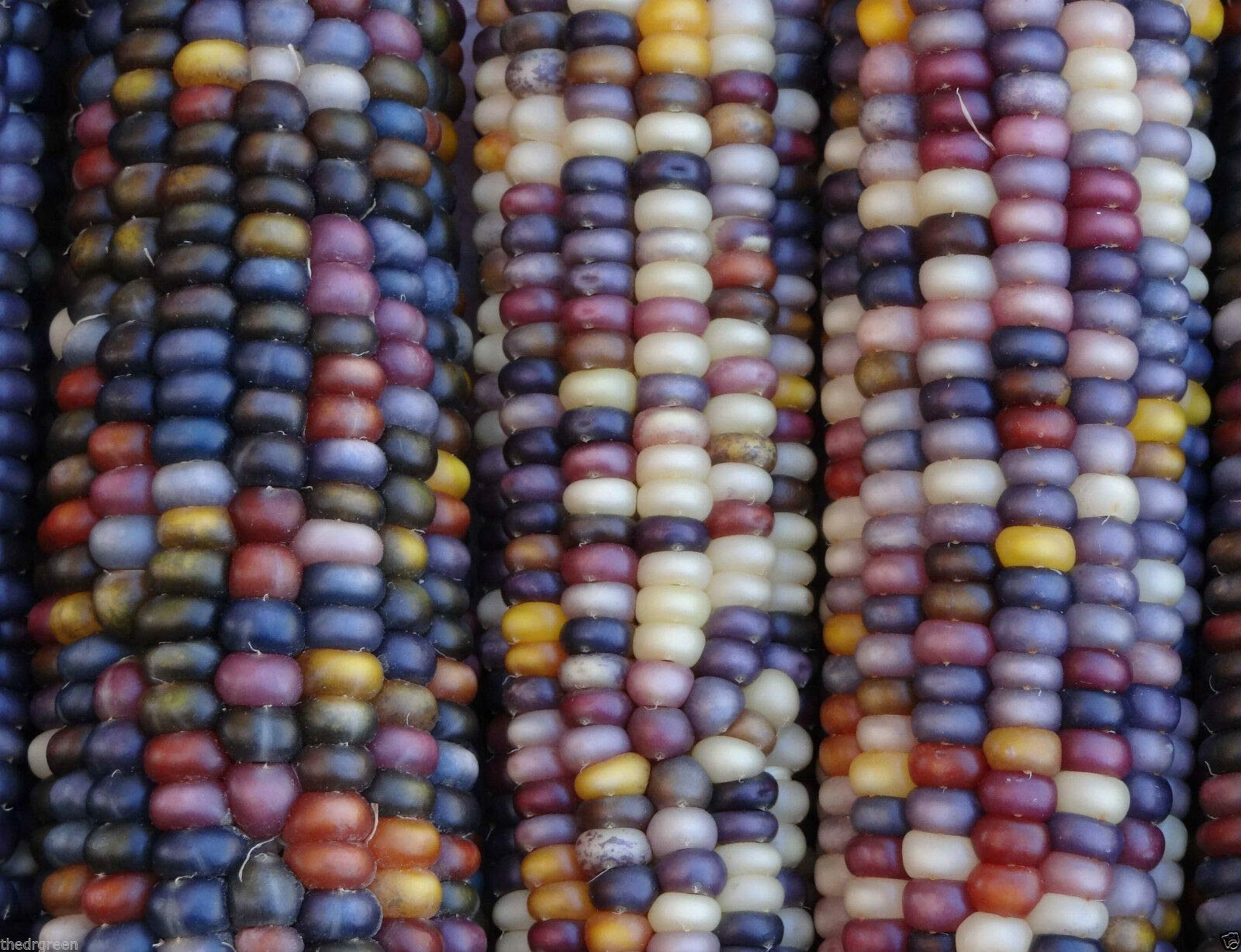 Glass Gem Heirloom Indian Corn Non-GMO Native Cherokee Zea mays Maize(Premium Quality) by The DG Premium