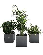 Amazon De Zimmerpflanzen
