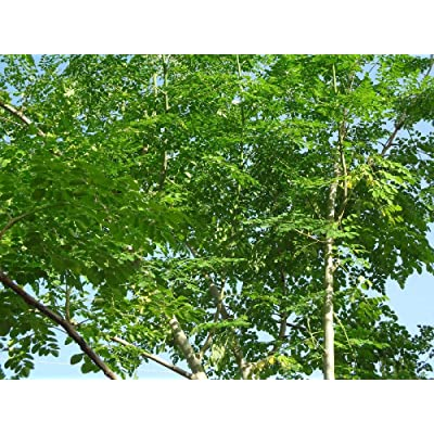 Moringa Oleifera STX-1 Most Hardy Organically Grown Seeds : Garden & Outdoor