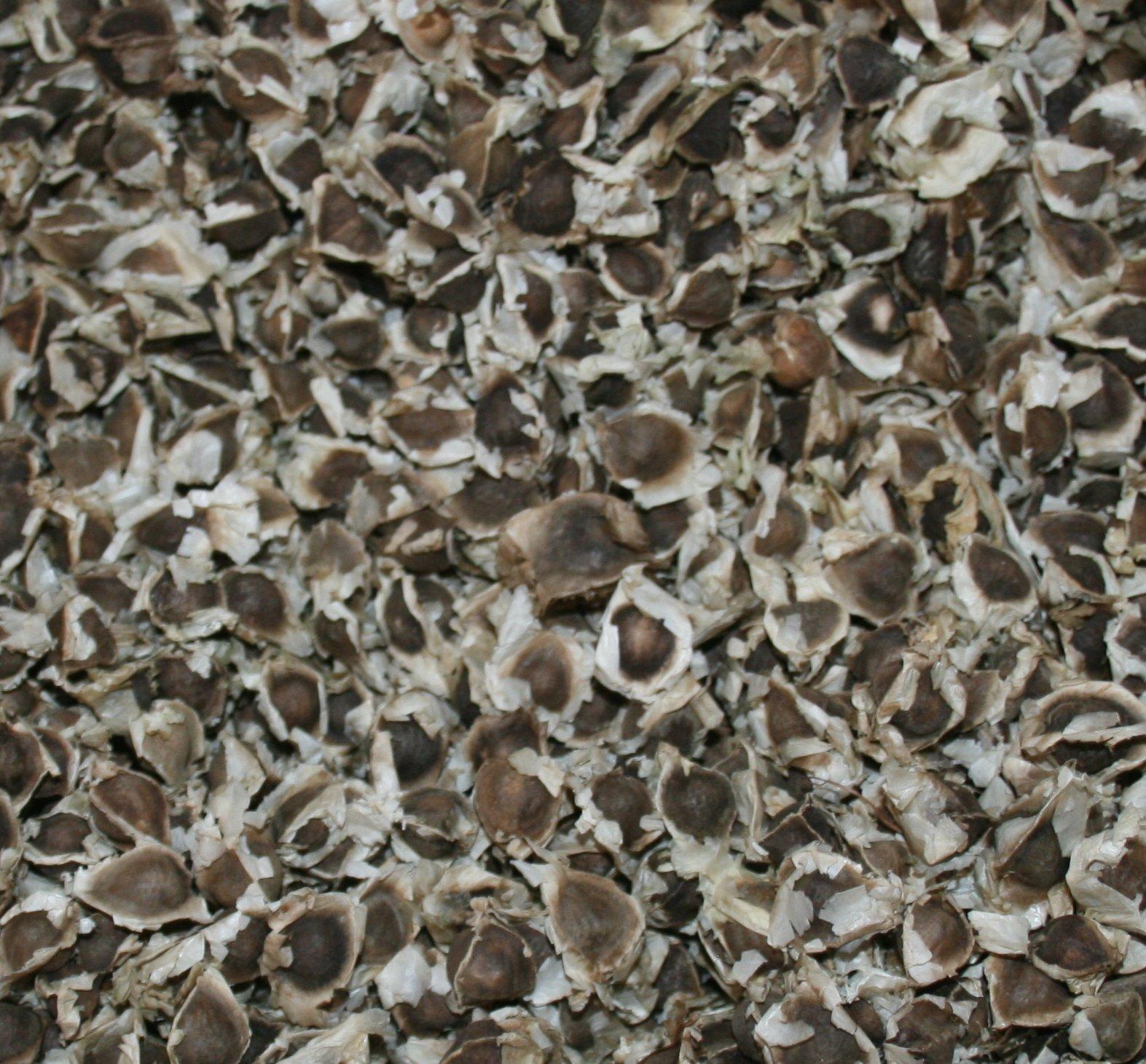 Wholesale Moringa Oleifera Seeds - Great Germination - US Customs Cleared! (20,000)