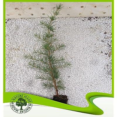 Cedrus deodara (Deodar cedar) - Plant : Garden & Outdoor
