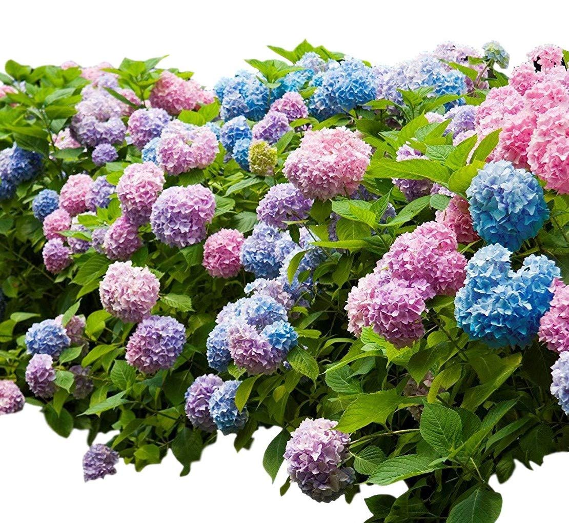 Endless Summer Mophead Hydrangea - Live Plant - Full Gallon Pot by New Life Nursery & Garden