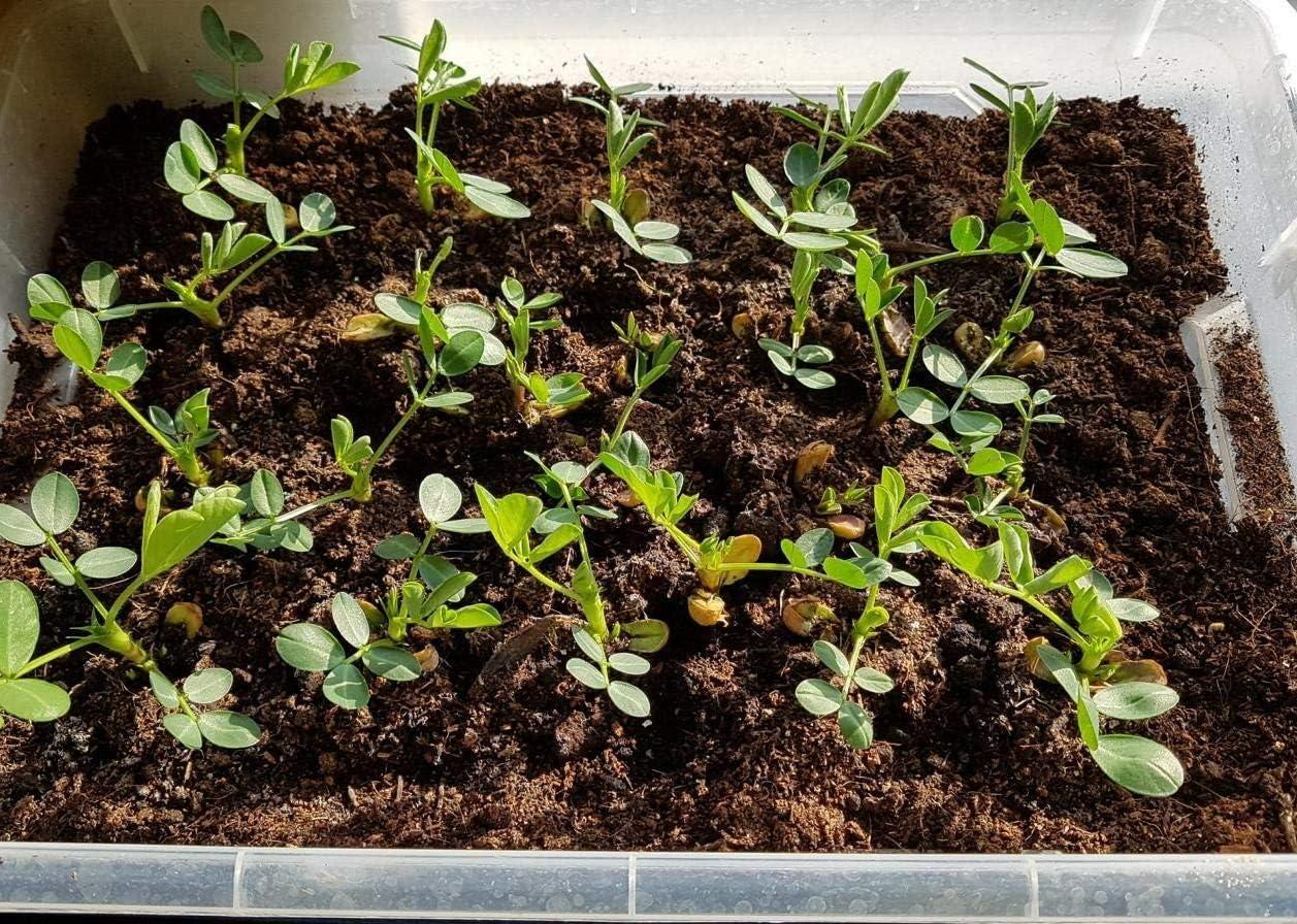 Arachis hypogaea Samen keimgetestet peanut seeds keimfähige Erdnuss Samen