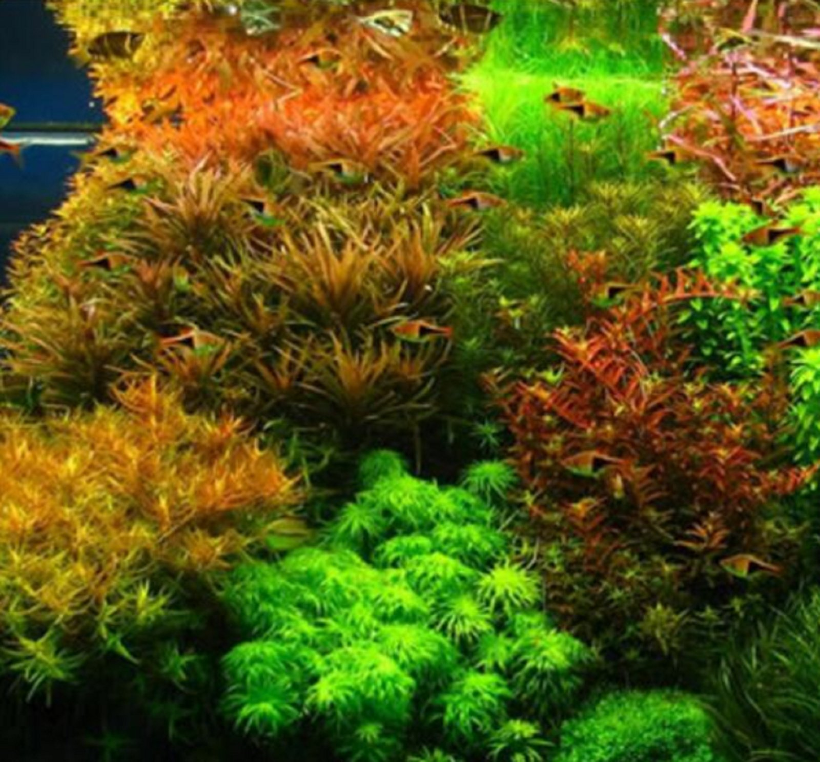 Hot Sale! Hot Pellia Java Fish Tank Aquatic Seeds For Live Fish Moss Fern Aquarium Plant Landscape Decoration Ornament 1000 Pcs/bag